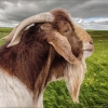 Proud Billy Goat
