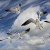 Florida Gulls