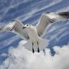 Florida Gull