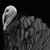 Wild Turkey on Black