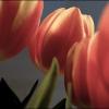 Kathys Tulips