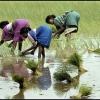 Harvesting Rice-India
